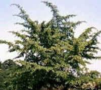 Esta árvore é considerada o membro vivo mais primitivo das plantas com flores. Forma folhas bilobadas de cor verde-claro e alcança até 25 m de altura. No fim do verão e princípio do outono produz um fruto malcheiroso com uma semente comestível.