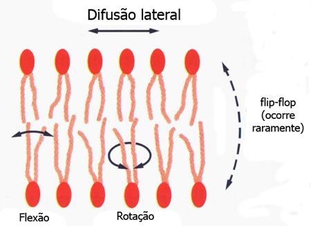 Mobilidade dos fosfolipídeos: os tipos de movimentos possíveis das moléculas de forfolipídeos em uma bicamada lipídica