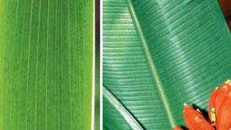 Venação paralelinérvea em folha de monocotiledônea
