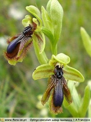 Flor da orquídea Ophrys, que engana seu polinizar.