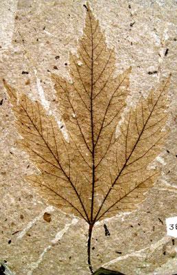 Fóssil de uma folha (macrofósseis)