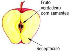 Estruturas da maçã, pseudofruto simples