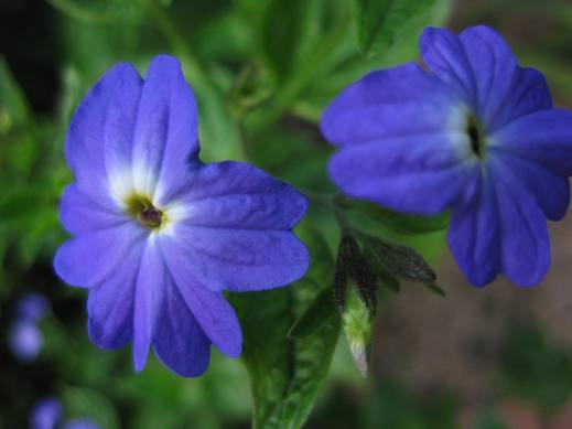 Brovália Azul