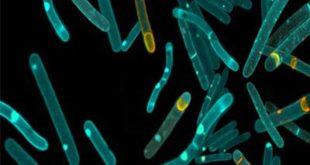 Esporo Bacteriano