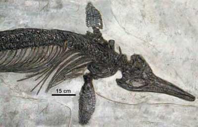 Um espécime do ictiossauro jurássico Ichthyosaurus intermedius, encontrado em Somerset County, Inglaterra.